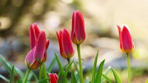 Mit Blumenzwiebeln zum prachtvollen Blütenmeer im Garten